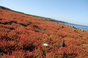 f-c-4395-spalmatore-fiori-spontanei-in-riva-al-mare