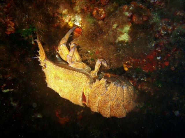 Cicala di Mare