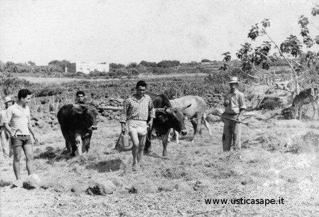 Mucche e asini a lavoro nell'aia