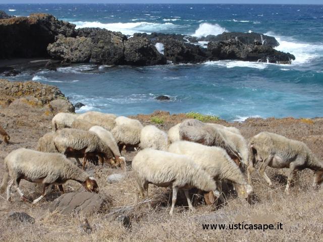 Le pecore a Cala Sidoti