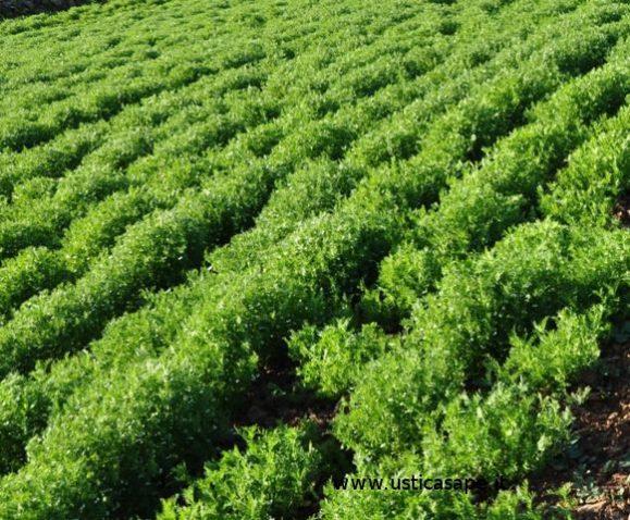 Campo lenticchie dopo la cura  (1)