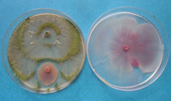 Funghi lenticchia