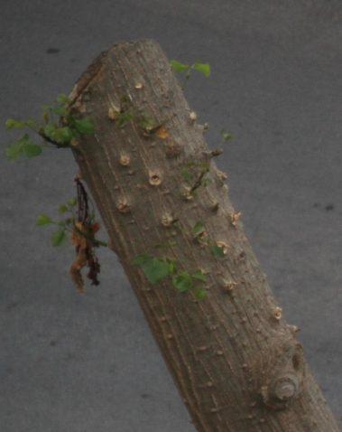 IMG_6551a albero scacchiato