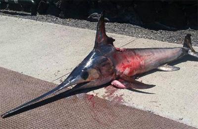 Pescatore ucciso da un pesce spada