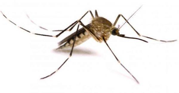 Culicoidea - zanzara