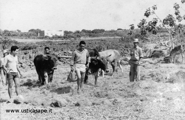 Trebbiatura del grano nell'aia con le mucche