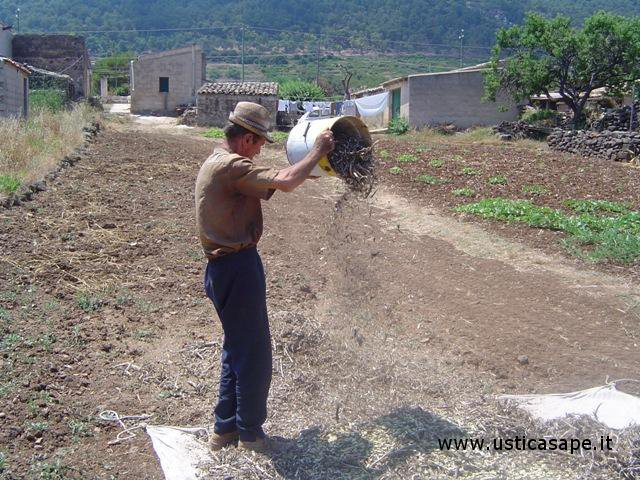 Contadino pulisce le fave con un lieve soffio di vento