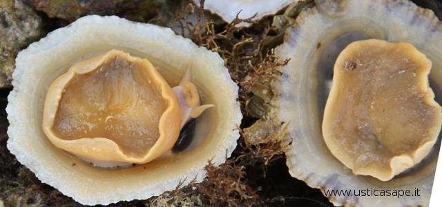 Patelle, prelibato frutti di mare