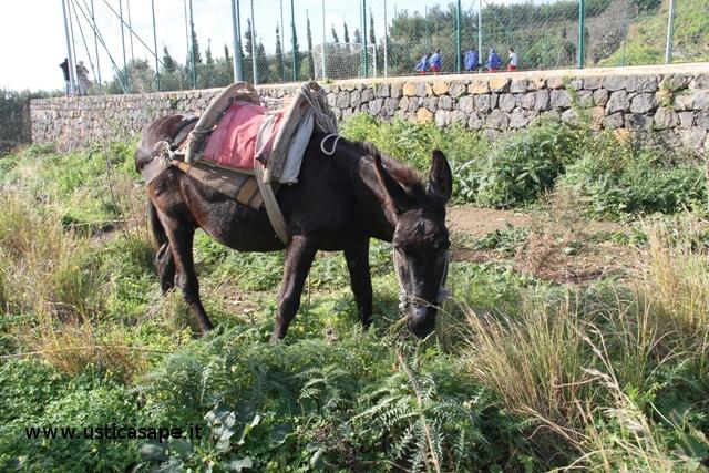 Gerardo, l'asino di Catiello, bruca l'erba