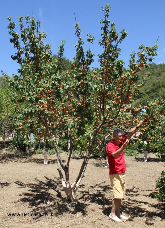 Angelo Longo, contento per l'abbondanza, mostra il suo frutto preferito – albicocca