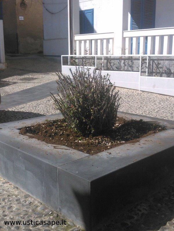 Euphorbia milii Des Moul. - Euphorbiaceae - Spina di Cristo