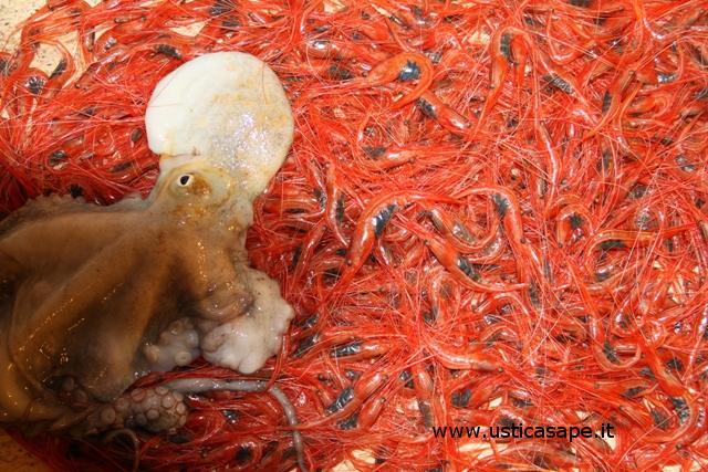 Ustica, dentro la nassa oltre al gamberetto anche un polpo