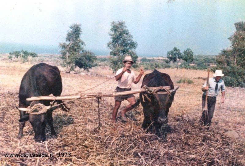 """Ustica, la""""pestata"""" delle fave nell'aia con le mucche"""