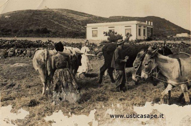 Ustica, mucche ed asini nell'aia