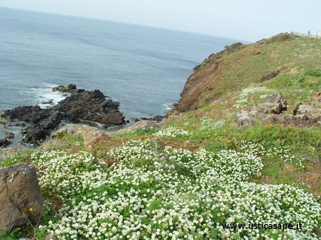 Ustica, fiori spontanei in riva al mare in località Passo della Madonna