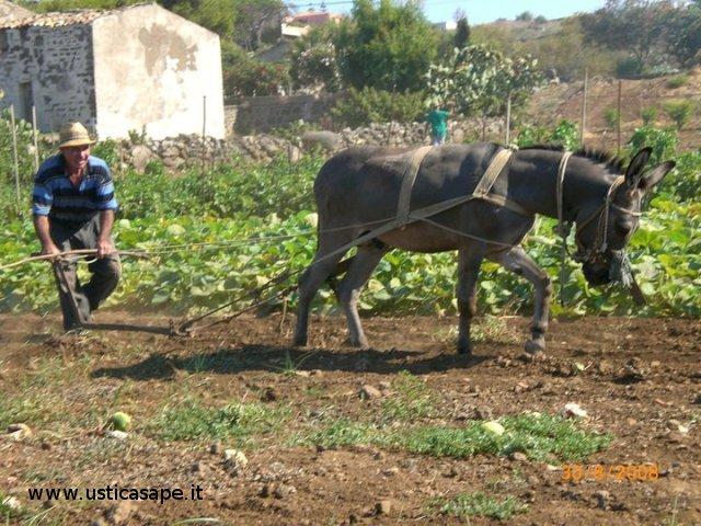 Ustica, Aratura e semina con asino